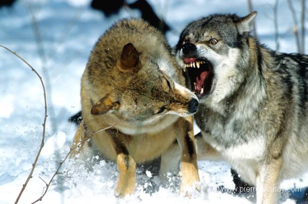 Ce mâle alpha entend asseoir son autorité envers ce loup qui ne se soumet pas au prime abord.